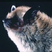 Myotis Californicus - California Myotis