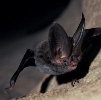 Corynorhinus Rafinesquii - Rafinesque's Big-Eared Bat