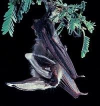 Corynorhinus townsendii - Townsend's Big-Eared Bat