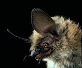 Myotis Evotis - Western Long-Eared Myotis