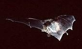 Myotis Yumanensis - Yuma Myotis